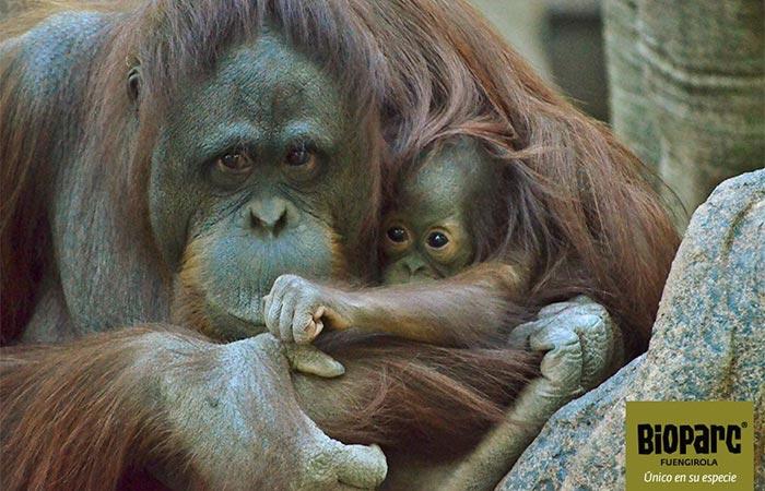 Mutter und tochter von orang-utans in den Bioparc Fuengirola