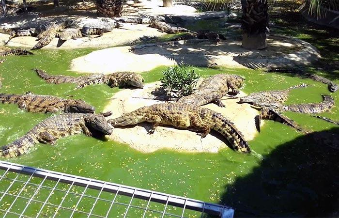 在多列毛利諾斯鱷魚公園的鱷魚日光浴